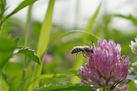 アカツメクサにニッポンヒゲナガバチ