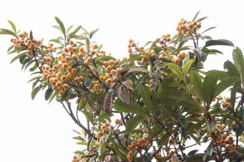 ビワの木にビワの実