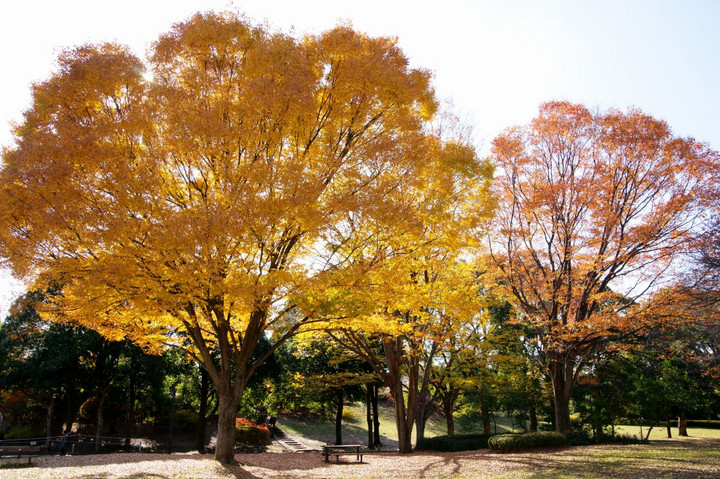 黄葉の公園