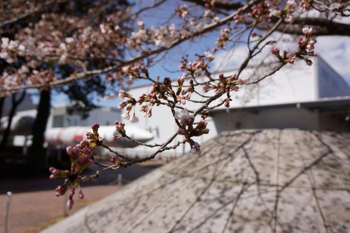 JAXAの桜
