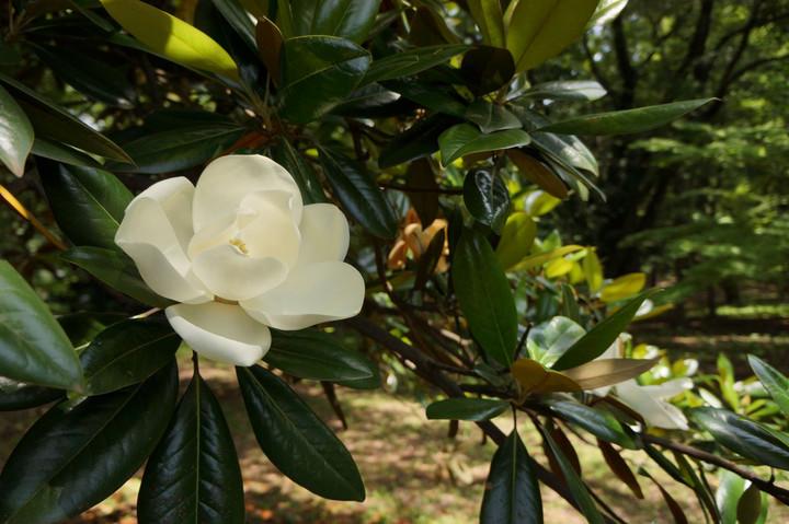 タイサンボクの花(1)