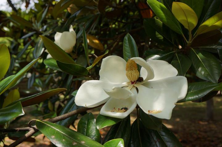 タイサンボクの花(2)