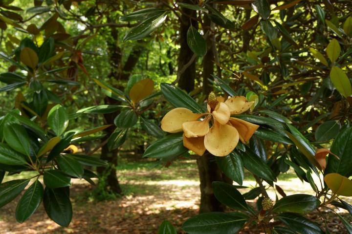 タイサンボクの花(4)